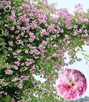 Rosen (große Auswahl) online kaufen & bestellen bei BALDUR-Garten