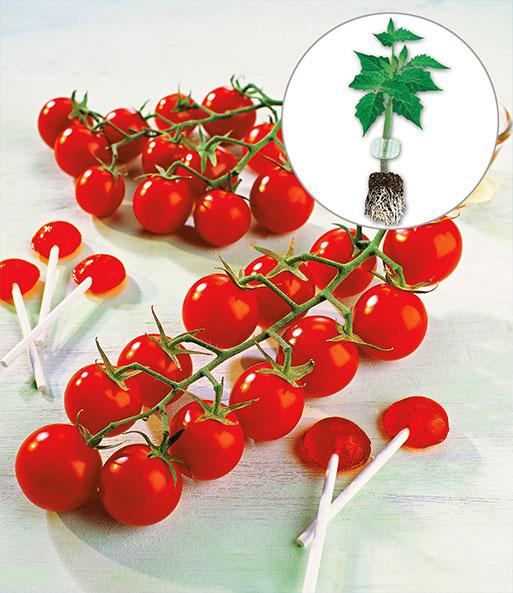 veredelte zucker tomate solena sweet red baldur garten. Black Bedroom Furniture Sets. Home Design Ideas