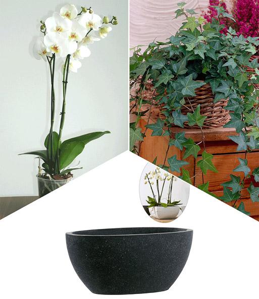 phalaenopsis orchidee efeu schal bl hende zimmerpflanzen bei baldur garten. Black Bedroom Furniture Sets. Home Design Ideas
