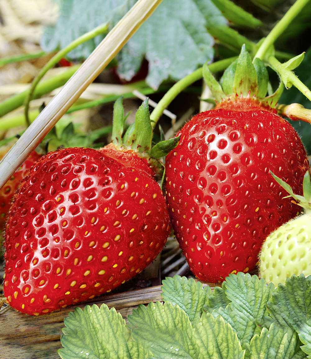 Immertragende Erdbeere 'Albion'
