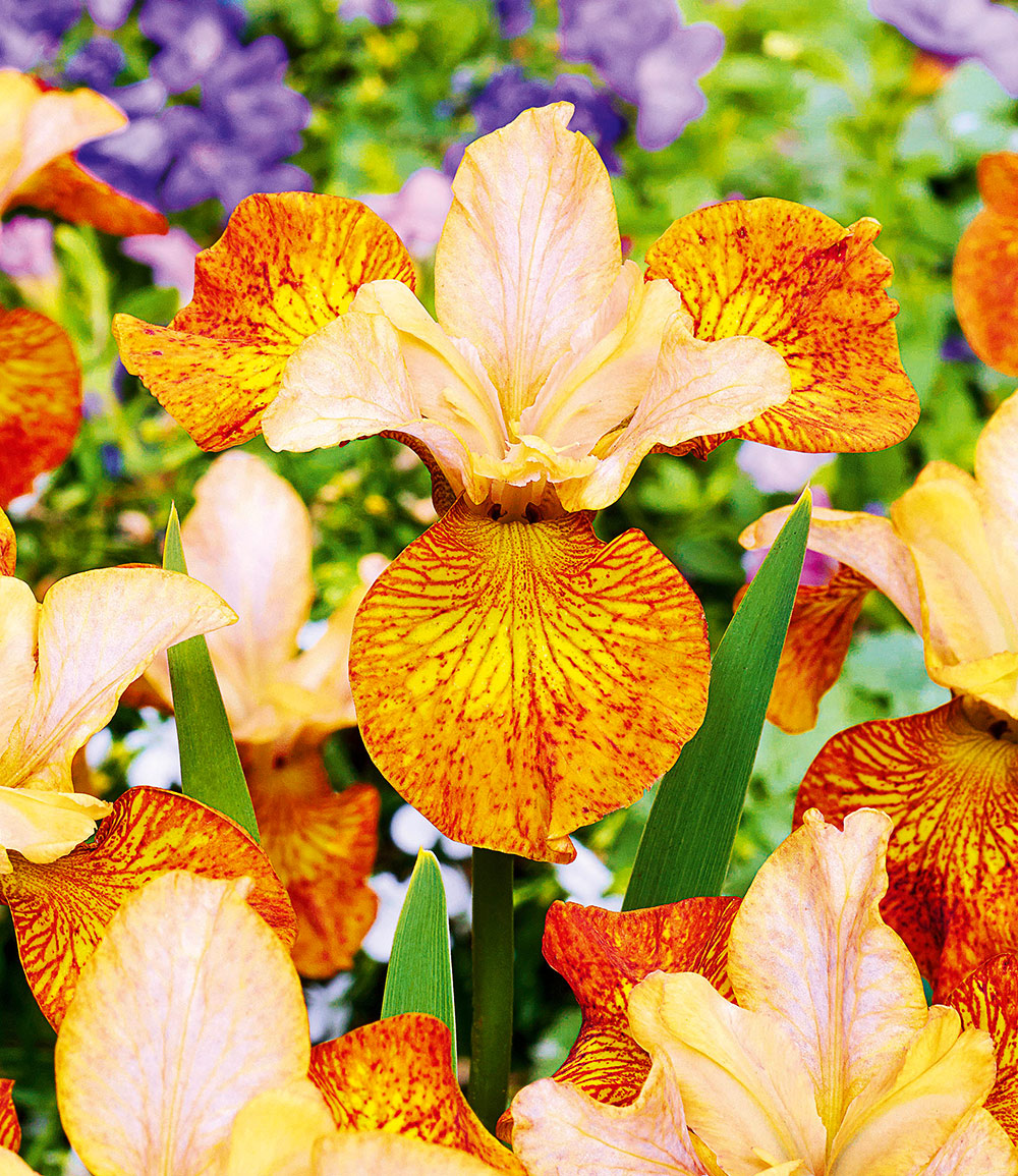 Iris 'Peacock Butterfly® Ginger Twist'