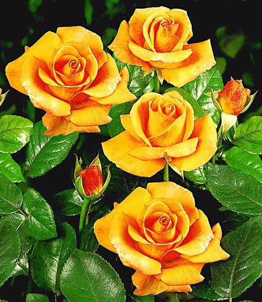 Edelrose Maja Oetker®: 1A-Qualität kaufen | BALDUR-Garten