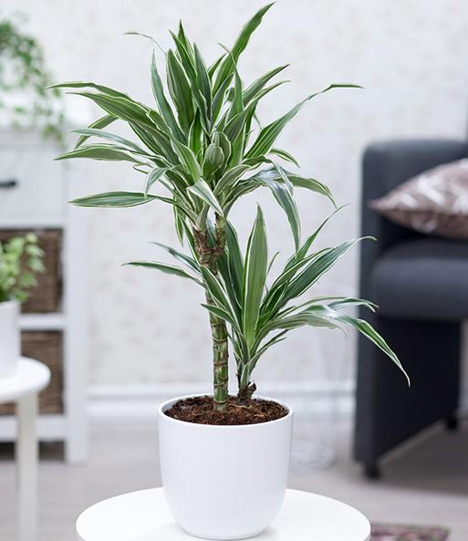 Zimmerpflanzen-Mix 'Palme XXL': 1A-Zimmerpflanzen | BALDUR