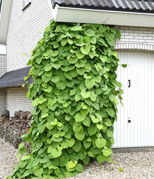 Kletterpflanze Halbschattig pfeifenwinde kletterpflanzen bei baldur garten