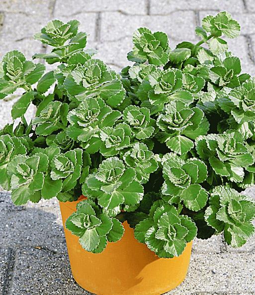 Coleus Canin Verpiss Dich Pflanze 1a Qualität Baldur Garten