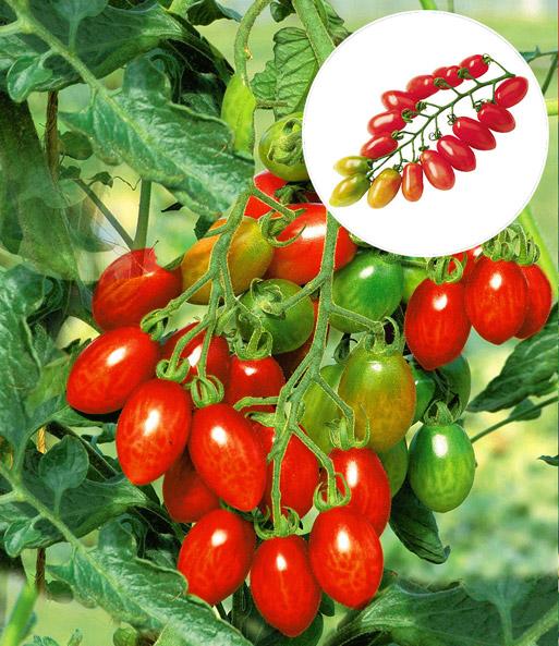 pflaumen tomate 39 trilly 39 f1 1a qualit t online kaufen. Black Bedroom Furniture Sets. Home Design Ideas