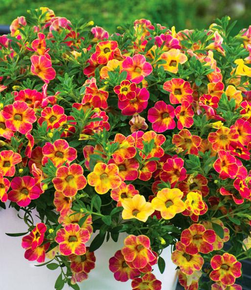 zaubergl ckchen 39 chameleon sunshine petunien jungpflanzen bei baldur garten. Black Bedroom Furniture Sets. Home Design Ideas