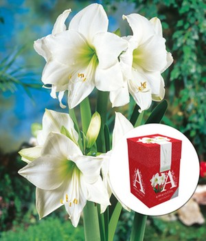 Amaryllis ´Weiße Intokazi´ mit Geschenkbox,1 Zw...