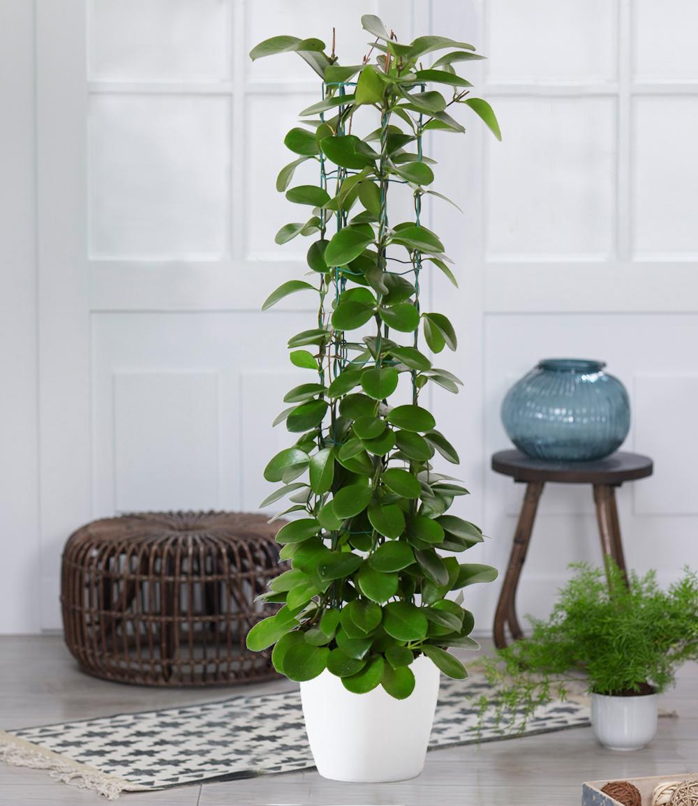 Säulen-Wachsblume 'Hoya australis'