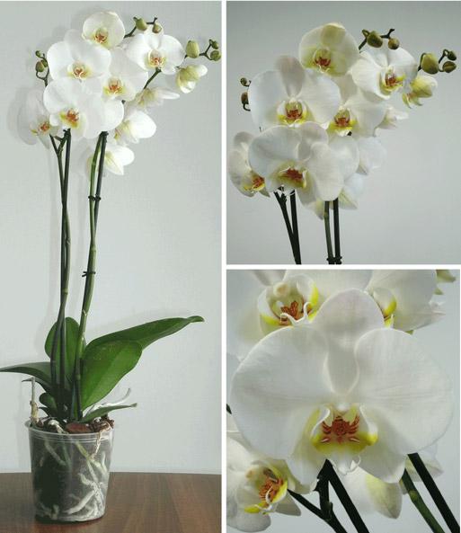 phalaenopsis orchidee mit schale zimmerpflanzen mit bertopf bei baldur garten. Black Bedroom Furniture Sets. Home Design Ideas