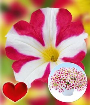 Petunie 'Amore®, Mio',3 Pflanzen