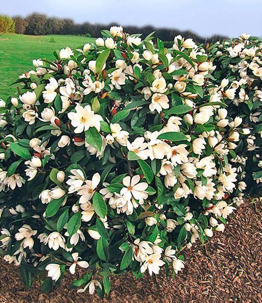 duft magnolien hecke 39 fairy 39 bl hende str ucher bei baldur garten. Black Bedroom Furniture Sets. Home Design Ideas