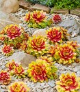 Sempervivum 'Gold Nugget®'