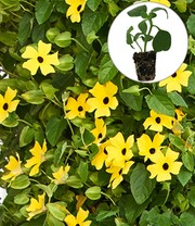 Thunbergia 'Arizona® Yellow Dark Eye'