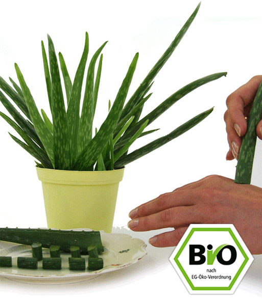 Bio Aloe Vera Zimmerpflanzen A Z Bei Baldur Garten