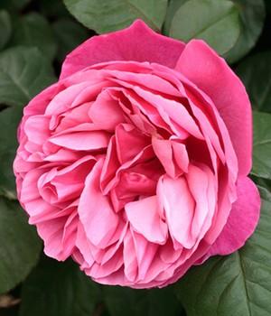container rosen – baldur-garten gmbh   giardino multicolor