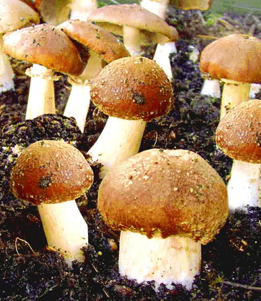 Fabulous Garten-Pilze Braunkappen-Set: 1A-Qualität | BALDUR-Garten BQ61