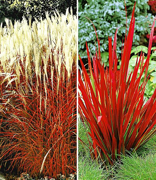 Gartengräser Winterhart rote gräser kollektion ziergräser bei baldur garten