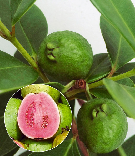 echte guave top qualit t online kaufen baldur garten. Black Bedroom Furniture Sets. Home Design Ideas