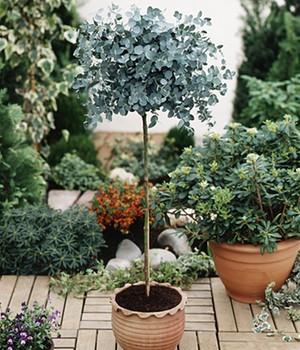 eukalyptus pflege eucalyptus citriodora eucalyptus gunnii. Black Bedroom Furniture Sets. Home Design Ideas