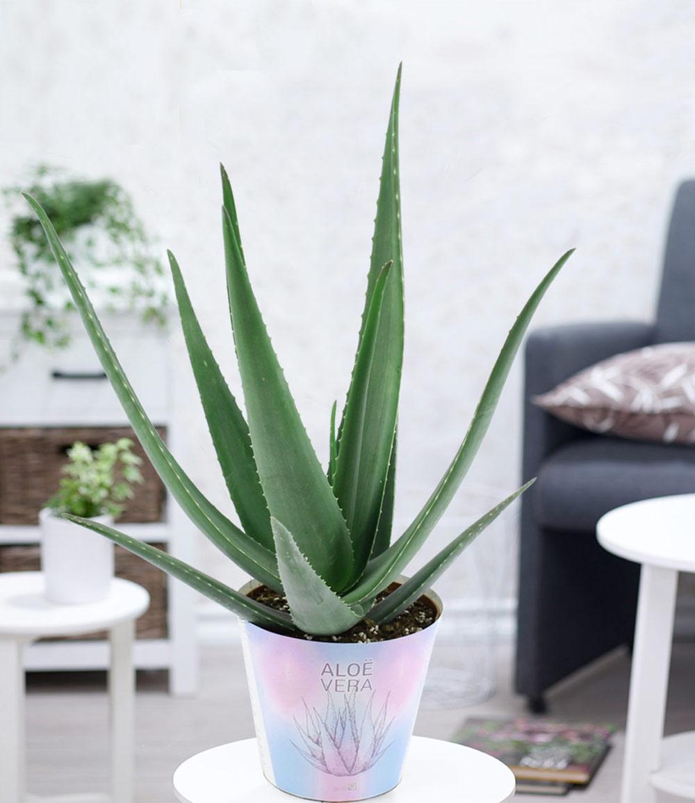 XXL Aloe Vera, 40-50 cm hoch