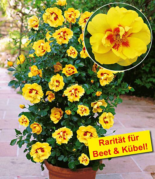 Baldur garten rosen  Rosen-Rarität 'Eyeconic®': Top-Qualität online kaufen | BALDUR-Garten
