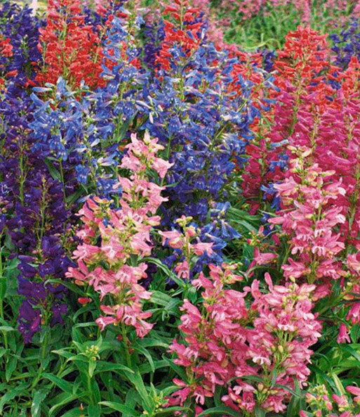 Penstemon 'Riding Hood Mix'