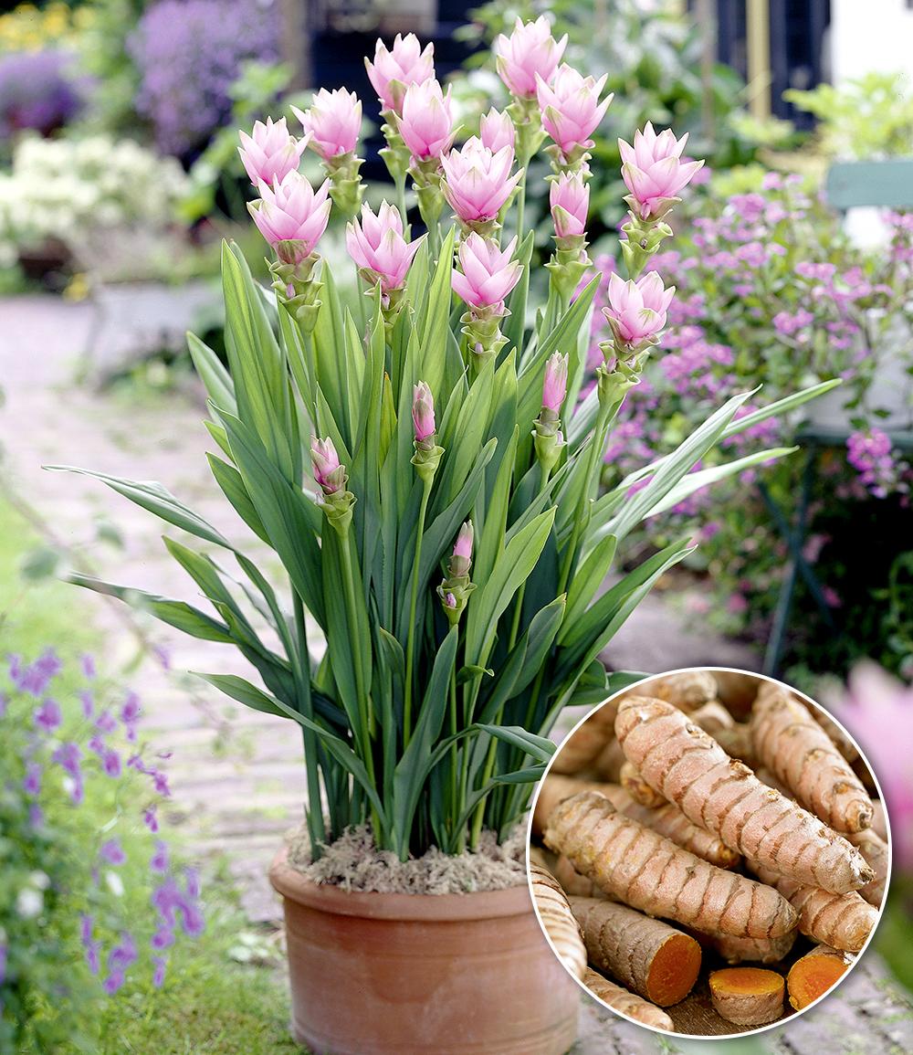 Kurkuma-Pflanze 'Curcuma longa'
