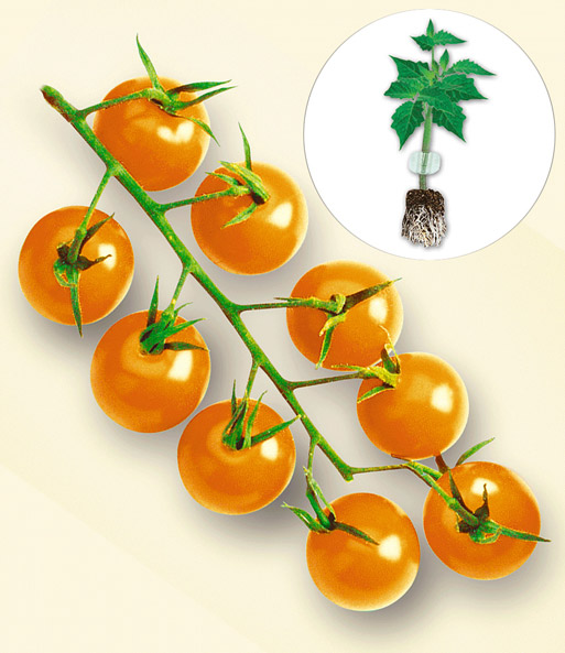 veredelte snack tomate 39 stargold 39 f tomaten jungpflanzen bei baldur garten. Black Bedroom Furniture Sets. Home Design Ideas
