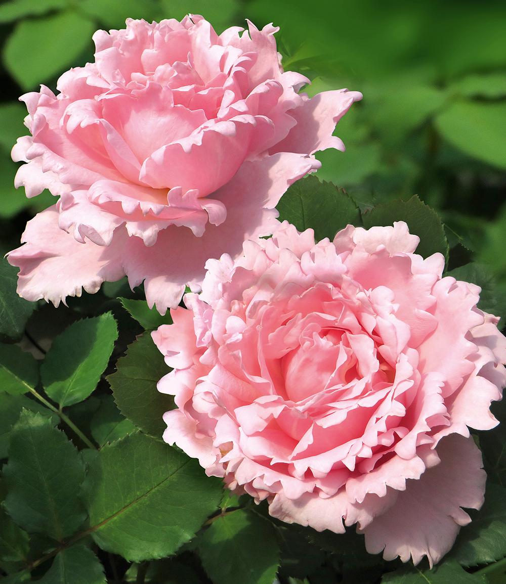 Parfum-Rose 'Sophie Rochas®'