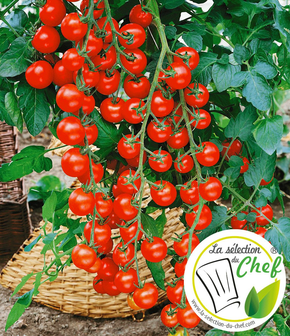 veredelte kirsch tomate 39 pepe 39 f1 tomaten bei baldur garten. Black Bedroom Furniture Sets. Home Design Ideas