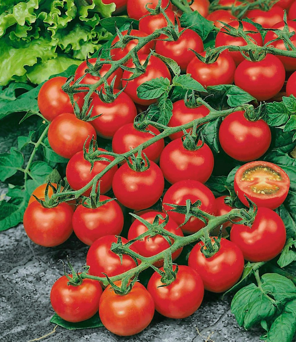veredelte strauch tomate 39 sparta 39 f tomaten bei baldur garten. Black Bedroom Furniture Sets. Home Design Ideas