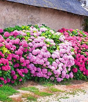 Freiland-Hortensien-Hecke  - Pink-rosé - ,3 Pflanzen