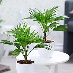 Zimmerpflanzen online kaufen bestellen bei baldur garten for Zimmerpflanzen bestellen