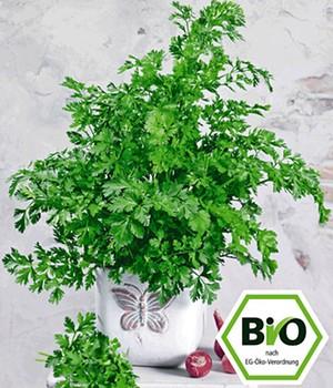 BIO-Koriander,1 Pflanze