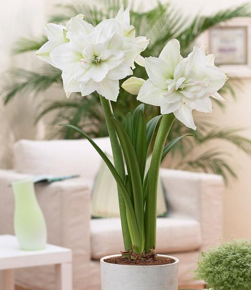 Gefullte Amaryllis Double White M Bluhende Zimmerpflanzen Bei
