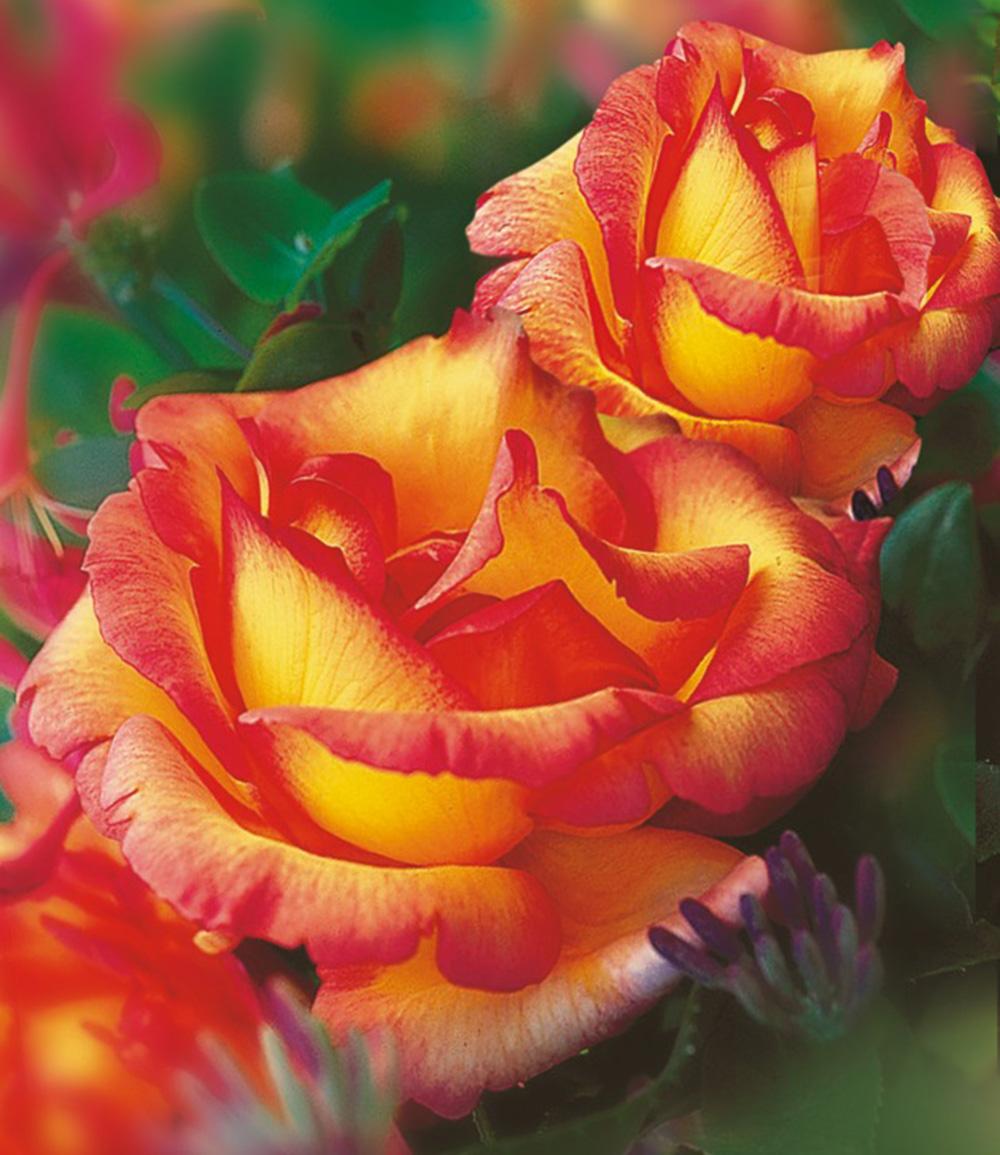 Kletter-Rose 'Parure d'or®'