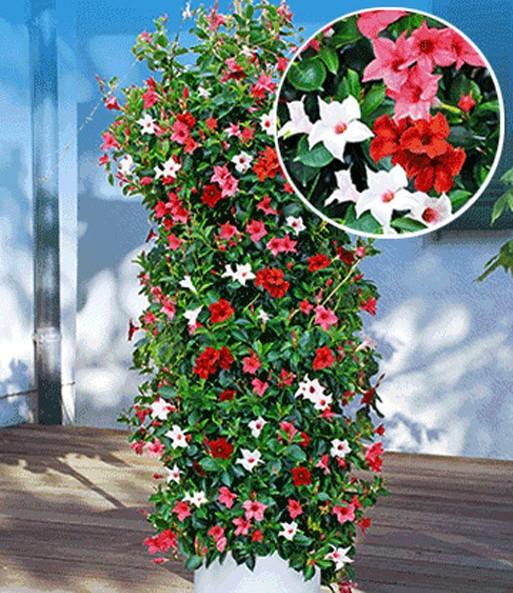 chilenischer jasmin trio-mix 'dipla | schling- & kletterpflanzen, Garten und Bauen