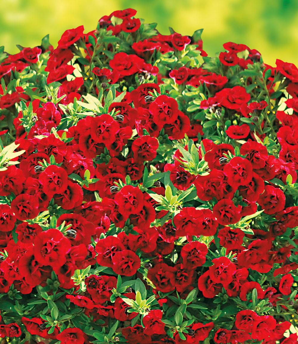Balkon-Zauberglöckchen 'Uno Double Red', 3 Pflanzen