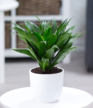 Dracena ´Compacta´,1 Pflanze