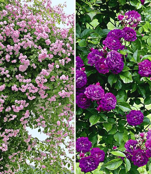rambler rosen kollektion blau und r kletterrosen bei