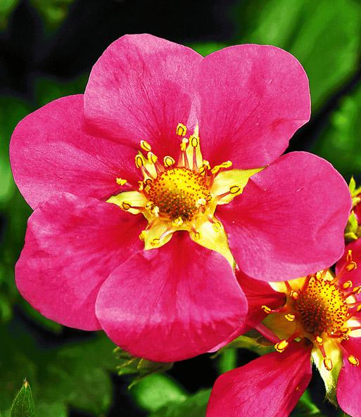 h nge erdbeeren 39 flower berry 39 mix sonderartikel bei baldur garten. Black Bedroom Furniture Sets. Home Design Ideas