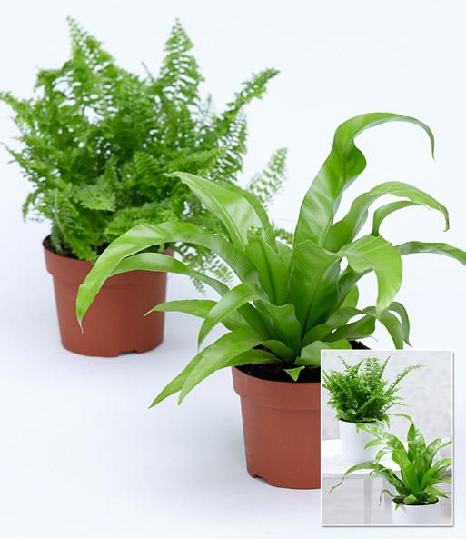 Zimmerpflanzen mix 39 farn 39 1a qualit t baldur garten - Bluhende zimmerpflanzen bilder ...