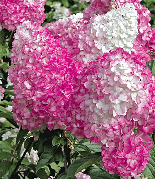 freiland hortensie 39 vanille fraise hortensien bei. Black Bedroom Furniture Sets. Home Design Ideas