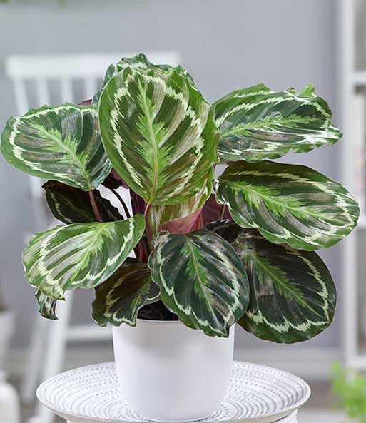 calathea surprisestar 1a zimmerpflanzen online kaufen baldur garten. Black Bedroom Furniture Sets. Home Design Ideas