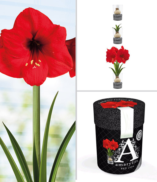 amaryllis im glas 39 red lion 39 amaryllis bei baldur garten. Black Bedroom Furniture Sets. Home Design Ideas