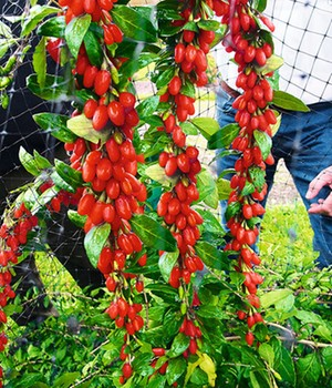 Goji 'Sweet Lifeberry®'