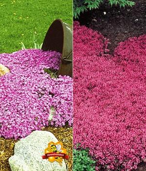 Bodendecker-Kollektion rosa und rot,6 Pflanzen