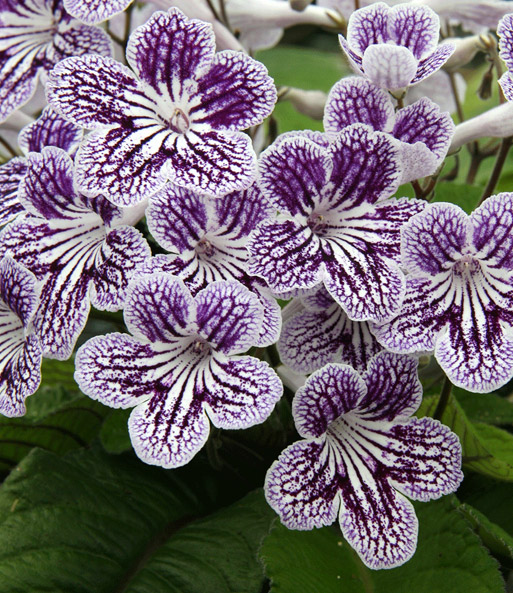 streptocarpus polka dot purple 1a zimmerpflanzen baldur. Black Bedroom Furniture Sets. Home Design Ideas