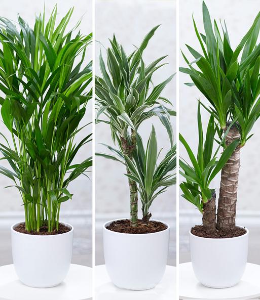 Zimmerpflanzen-Mix \'Palme XXL\'